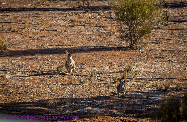 Rawnsley Park Station, Flinders Ranges, a few locals drop by