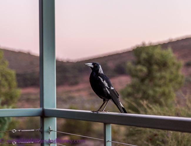 Rawnsley Park Station, Flinders Ranges morning visit from a magpie