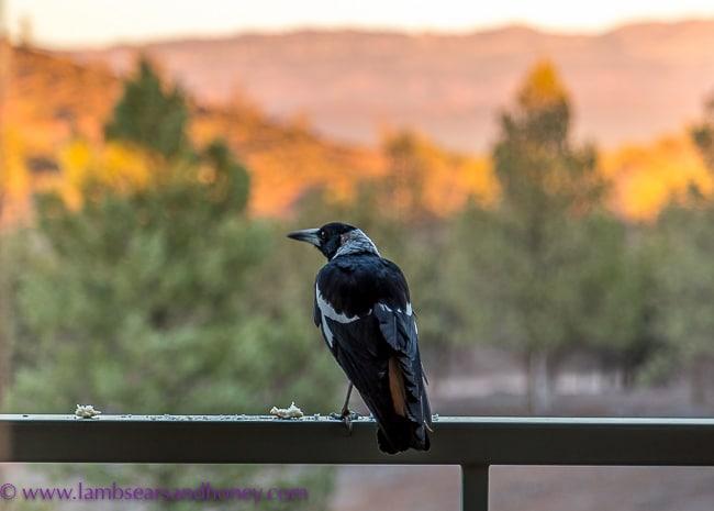 magpie at sunset, Rawnsley Park Station, Flinders Ranges