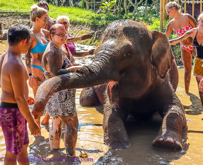 Loving all the attention at Elephant Mud Fun, Bali Zoo