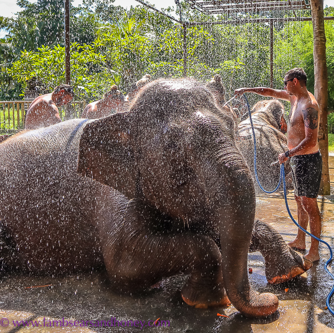 Elephant Mud Fun, Bali Zoo - time for a shower