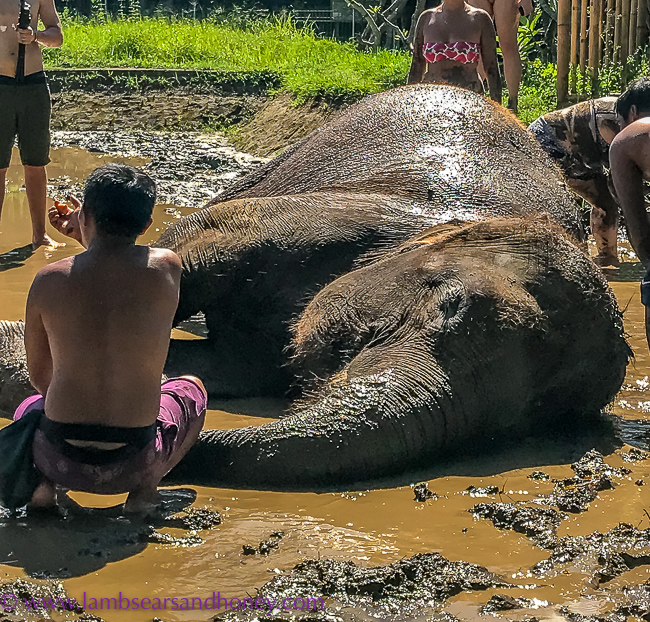 Elephant Mud Fun, Bali Zoo - enjoying a good wallow