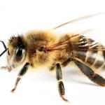 Kangaroo Island Bees & Their Role in Global Food Security